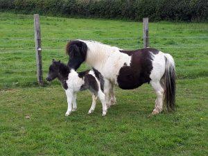 new born miniature Shetland foal