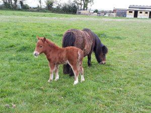 new miniature Shetland foal
